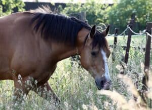 Quarter Horse Grazing