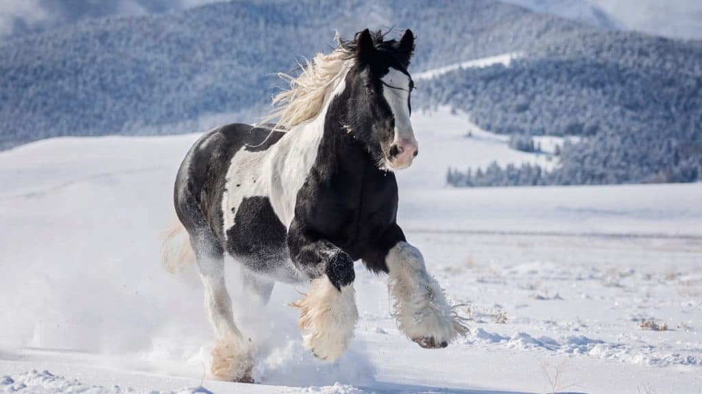 Gypsy Vanner Playing In The Snow