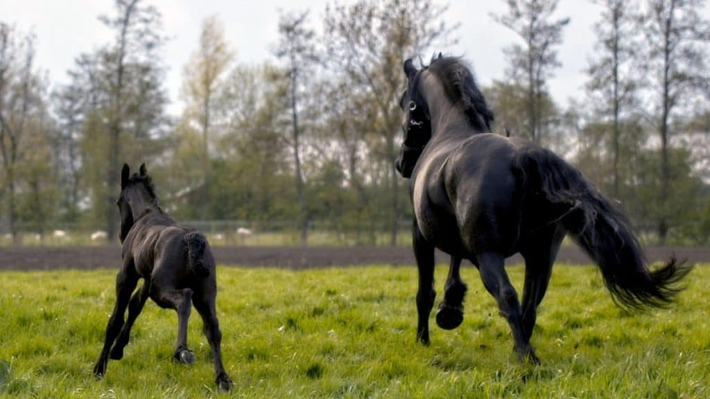 Black Friesian Horse With Foal