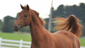 Chestnut Morgan Horse