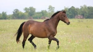 Huge Morgan Horse