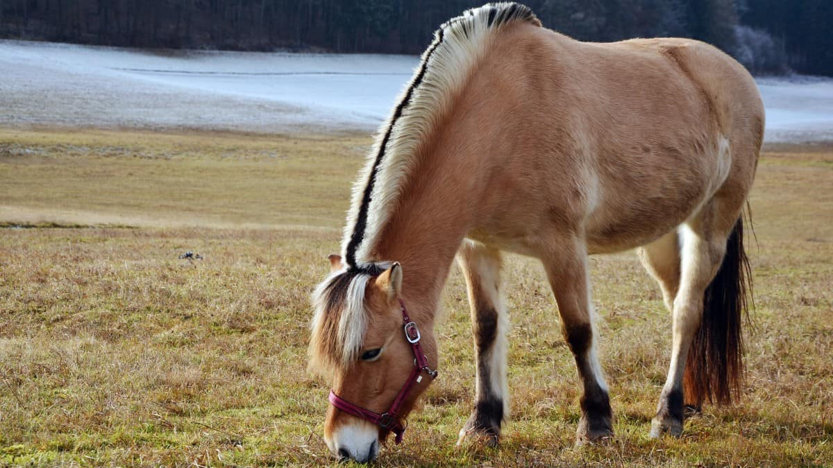 Norwegian Fjord Horse Facts And Information - Breed Profile-7291