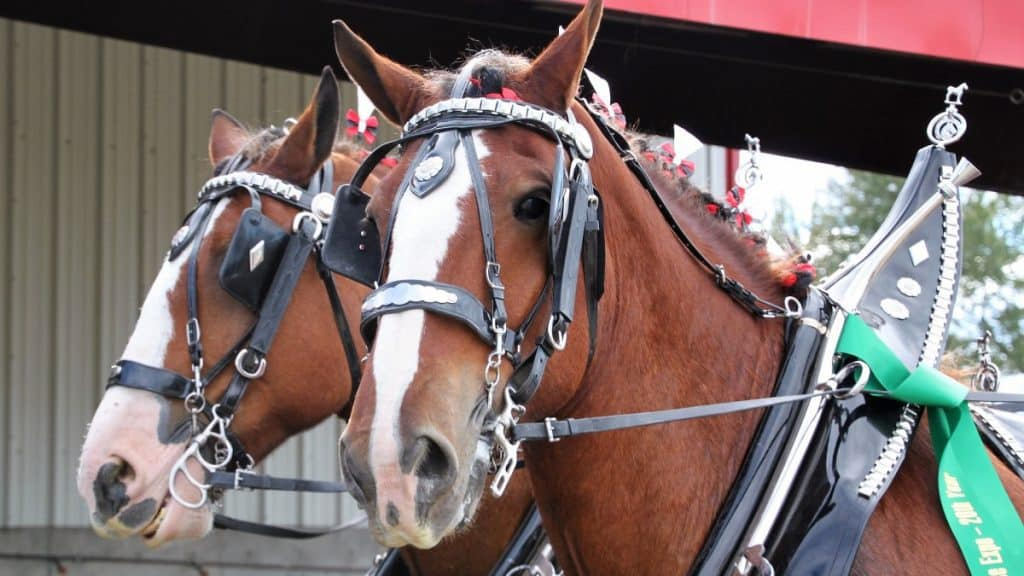 Clydesdale Horse Team