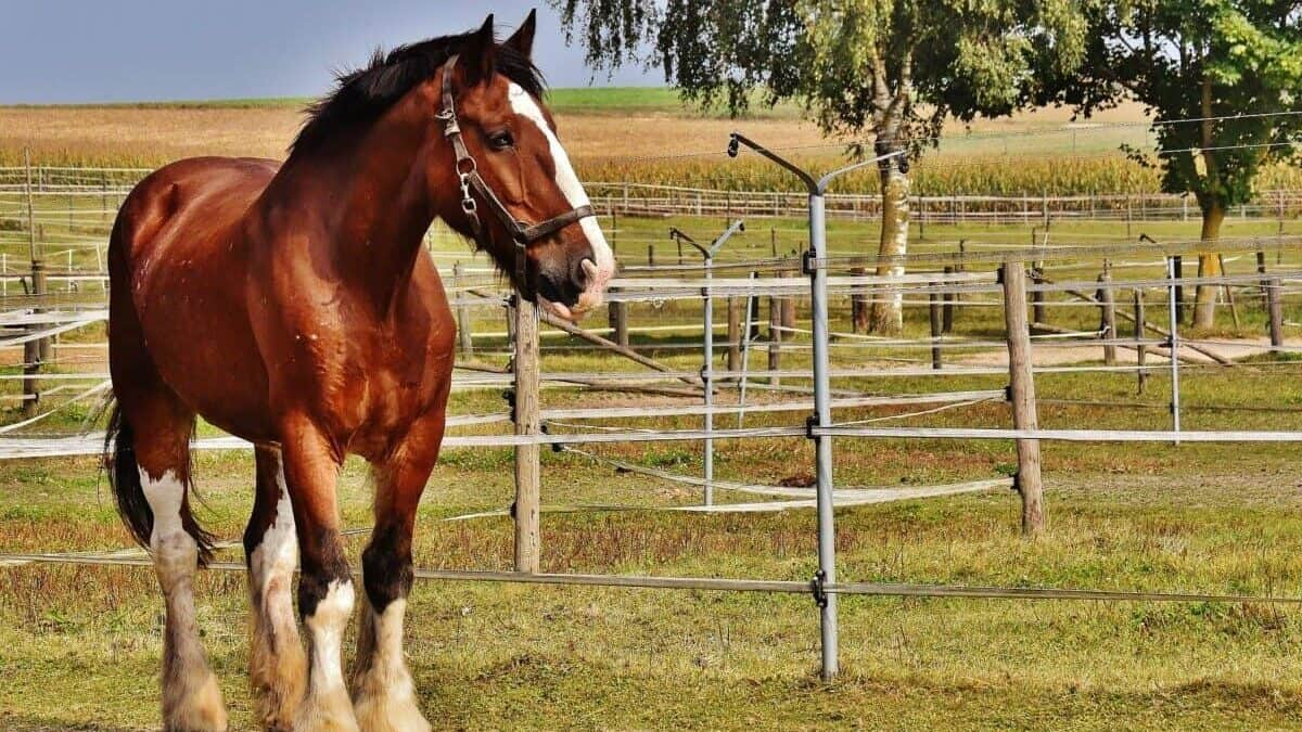 Biggest Horse Breed: Shire