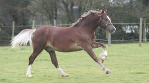 Welsh Cob (Section D)