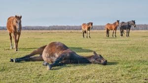 Horse Laying On Side Fast Asleep