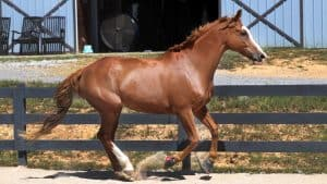 American Warmblood Horse