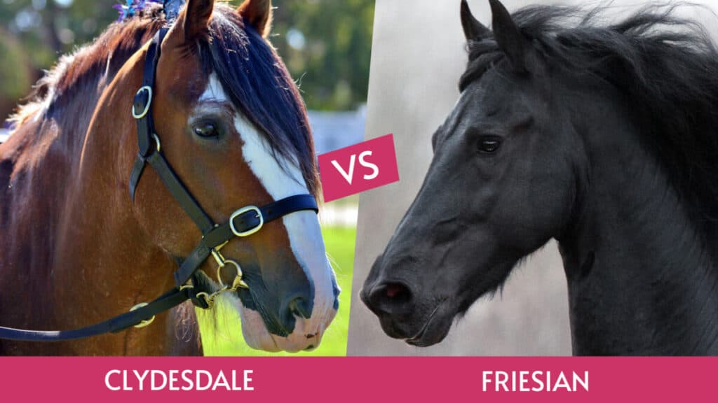 Clydesdale vs Friesian